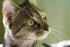 Free Watching Cat Royalty Free Stock Image - 481206