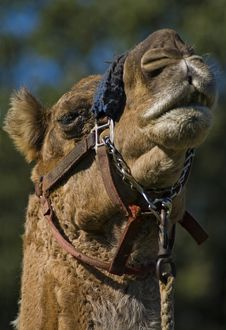 Free Camel Closeup Royalty Free Stock Photography - 482247