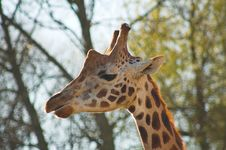 Free Giraffe Royalty Free Stock Photos - 482318