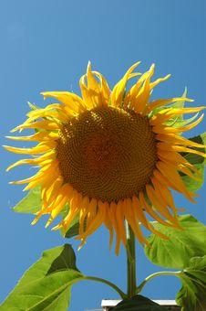 Free Big Sunflower IV Royalty Free Stock Photos - 482538
