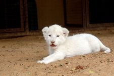 Free White Lion Cub Royalty Free Stock Photo - 483025