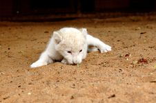 Free White Lion Cub Royalty Free Stock Images - 483089