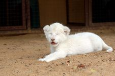 Free White Lion Cub Stock Photos - 483183