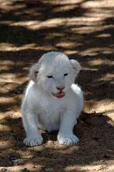 Free White Lion Stock Photos - 483253