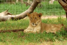 Free Lion Royalty Free Stock Images - 483509