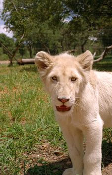 Free White Lion Stock Image - 483511