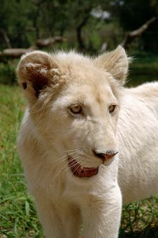 Free White Lion Stock Images - 483514