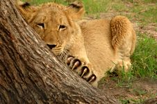 Free Lion Stock Photo - 483520
