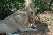Free White Lion Stock Image - 483611