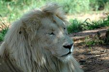 Free White Lion Royalty Free Stock Photo - 483615