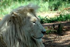 Free White Lion Royalty Free Stock Image - 483616