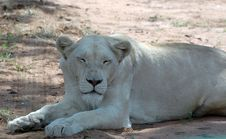 Free White Lion Stock Photography - 483652