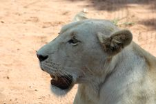 Free White Lion Stock Photos - 483653