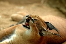 Free Caracal Stock Photography - 483792