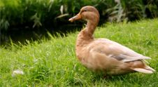 Free Brown Duck Stock Photos - 484423