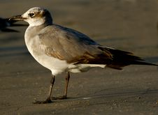 Free Gull Royalty Free Stock Photography - 485517