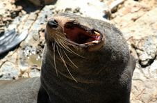 Free Yawning Fur Seal In The Sun Royalty Free Stock Photography - 485997