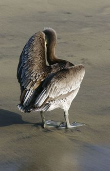 Free Brown Pelican Stock Photography - 487212