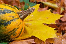 Tail Of A Yellow Pumpkin Stock Image
