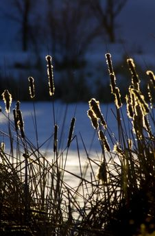Free Cattails Lit Up By Sunrise Royalty Free Stock Photo - 487665