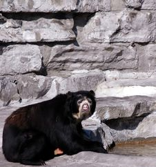 Free Black Bear Royalty Free Stock Image - 489566