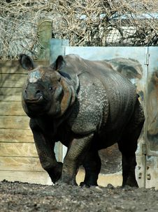 Free Male Rhinocerus Stock Photo - 489610