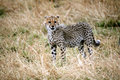 Free Cheetah Cub Standing Watchful In The Grass Royalty Free Stock Photography - 4800007