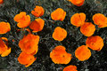 Free California Poppies Stock Image - 4803111