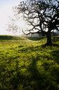 Free Oak Tree Royalty Free Stock Photography - 4804187