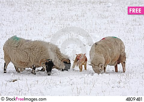 Free Newly Born Lamb In The Snow Stock Image - 4809481