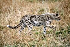 Free Cheetah Cub Walking Through The Grass Royalty Free Stock Photo - 4800135