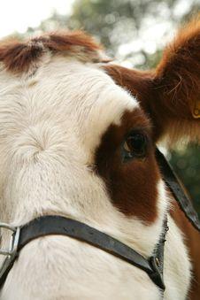 Free Cow Stock Image - 4800321