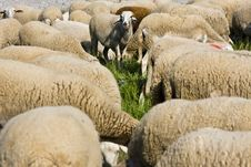 Free Sheep Crowd Royalty Free Stock Photography - 4800377