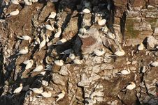 Free Gannet Colony At Troup Head Stock Images - 4800674