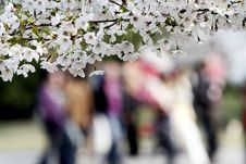 Free Cherry Blossom Season.. Stock Images - 4800744