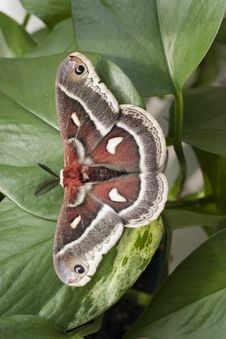 Free Polyphemus Moth. Stock Photography - 4800762