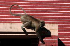 Free Monkey Near Temple, India Royalty Free Stock Photos - 4800838