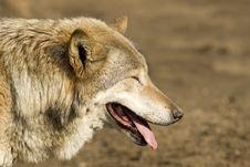 Free Gray Wolf Stock Photos - 4801803