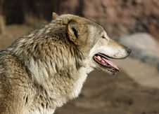 Free Wolf Looking Forward Stock Photo - 4801840