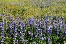 Free Lupin Field Stock Image - 4802461