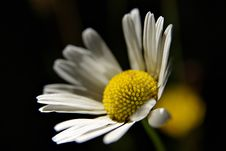 Free Daisy Royalty Free Stock Photos - 4802468