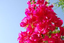 Free Red Flower Royalty Free Stock Images - 4802759