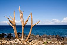 Free Bare Tree Limbs By The Ocean Royalty Free Stock Image - 4802826