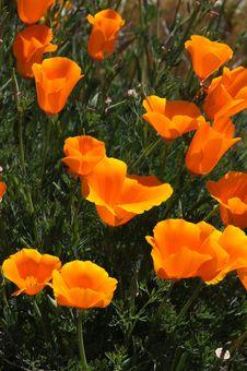 California Poppies Royalty Free Stock Photo