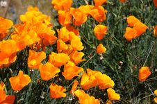 Free California Poppies Stock Photo - 4803050