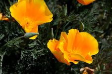 Free California Poppies Royalty Free Stock Image - 4803116