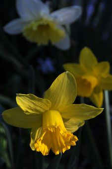 Free Daffodils Royalty Free Stock Images - 4803279