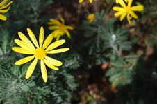 Free Yellow Daisy Stock Image - 4803771