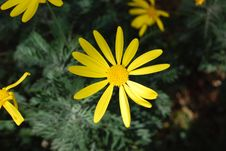 Free Yellow Daisy Stock Images - 4803774