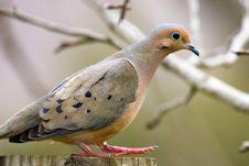 Free Pigeon Walking Stock Photo - 4803860